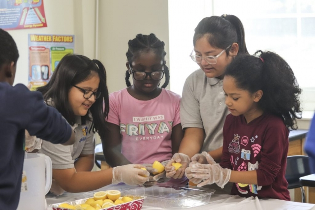 Students begin to squeeze lemons to make strawberry lemonade.
